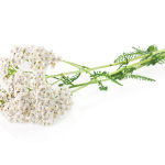 Yarrow herb on a white background